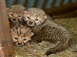 male and  female  cheetahs  and  tigers cubs ready  now
